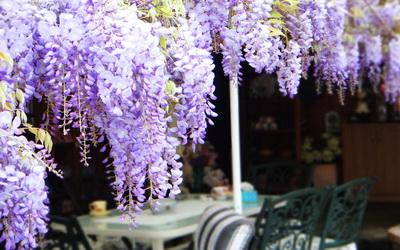 阿喜紫藤圖片