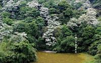 鄰近桐花祭景點「四腳亭油桐花」