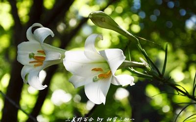 野百合祕密花園