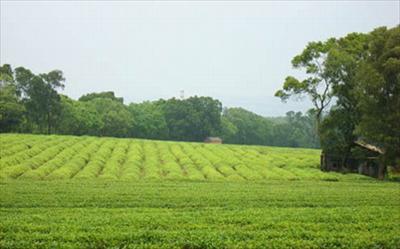 慈濟山茶園