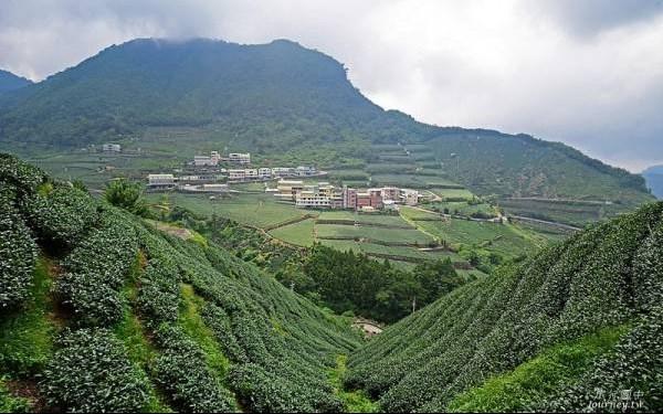 樟樹湖高山茶茶區