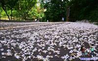 銅鑼雙峰桐花步道
